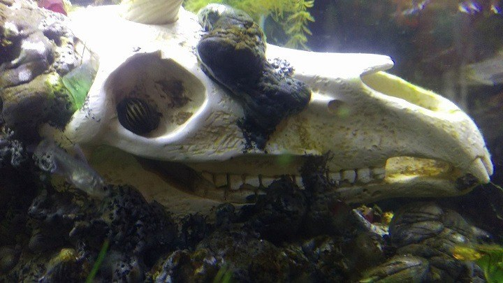 nerite snail in unicorn fish tank skull eye